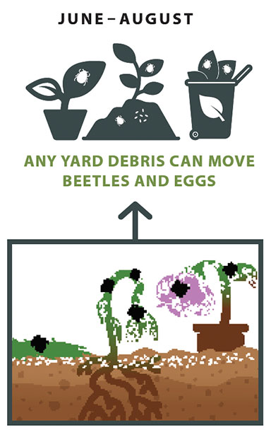 Adult Japanese beetles feed on leaves, buds, and flowers of many common garden and landscape plants. Adult females commonly lay their eggs in well-watered lawns.