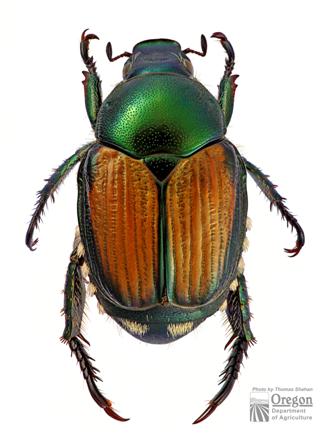 Japanese beetle (Popillia japonica),  adult