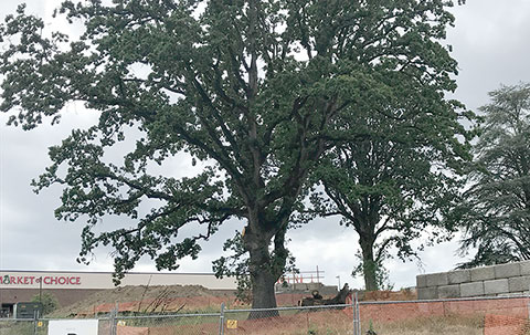 One of the large oak trees at the west edge of the property has been pruned to help preserve it.