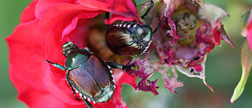 Japanese beetle eating roses
