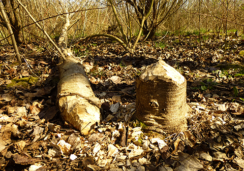 Beaver-chewed stumps are often visible near streams.