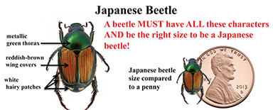 beetle features