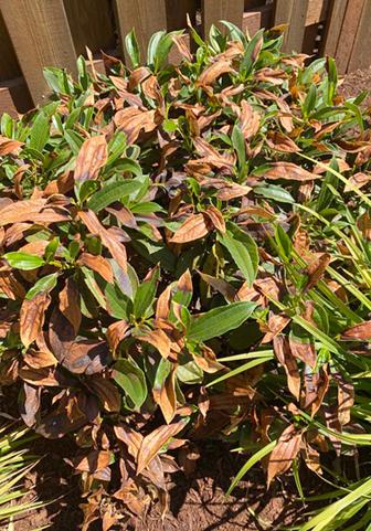 heat damaged plants